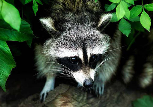 wildlife removal paul's AAA pest control des moines ia