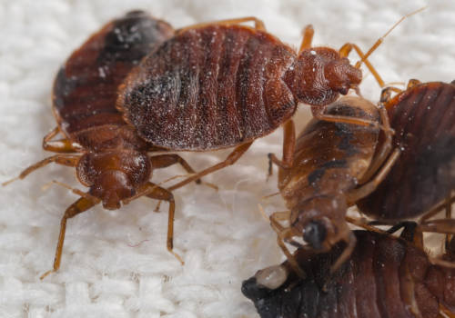 bed bugs paul's AAA pest control des moines ia